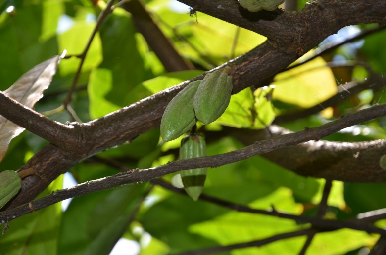 Cacao tree in Haiti for J.O. Haselhoef story.