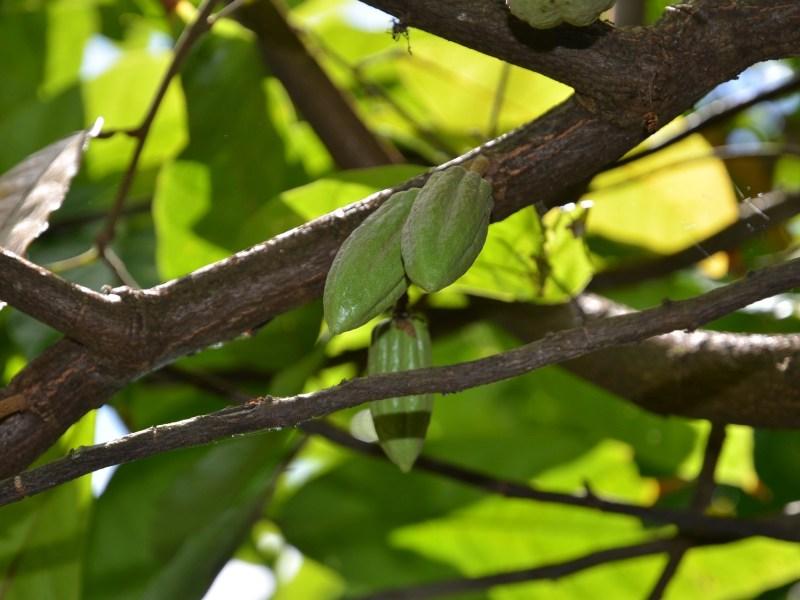 Cacao tree Haiti