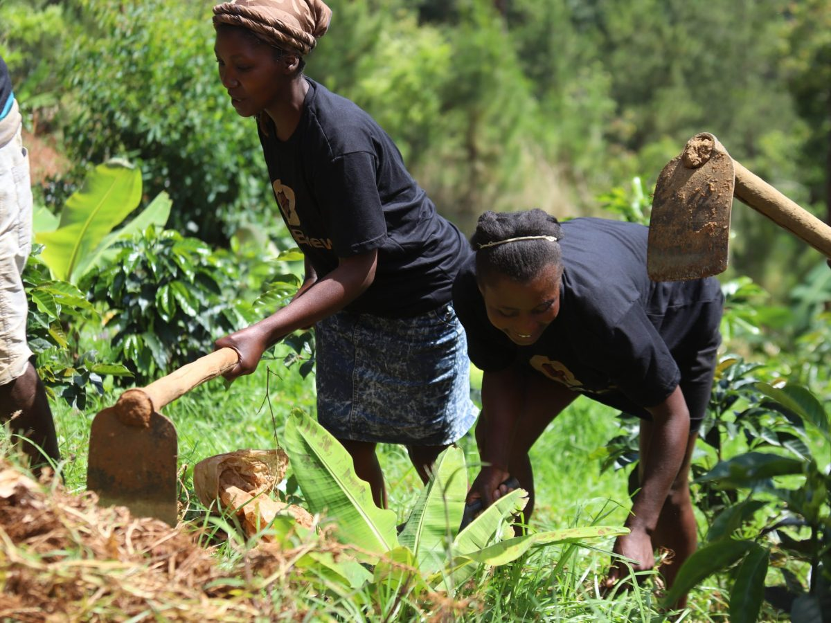 haiti coffee growers