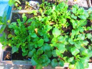 pak choi, malabar spinach, lettuce and swiss chard