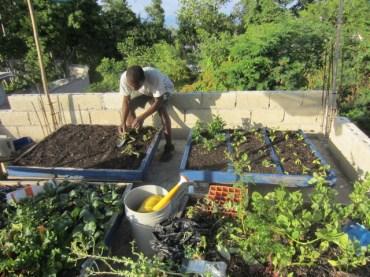 innocent planting swiss chard