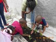 planting radish between swiss chard