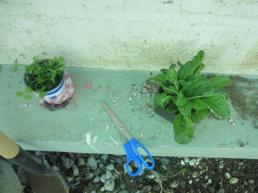 cillantro and swiss chard seedlings