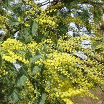 Mimosas Haitz Ondo