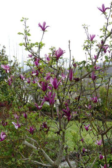 Tulipiers en fleurs