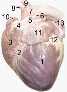 Begehrt bei der Organspende: Das Herz; Foto: Uwe Gille; Quelle: Wikipedia Lizenz: CC-BY-SA 3.0