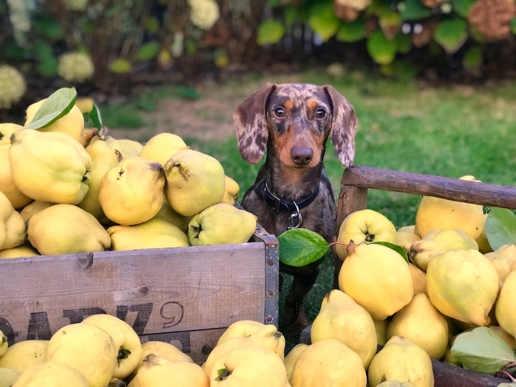 dog near fruit