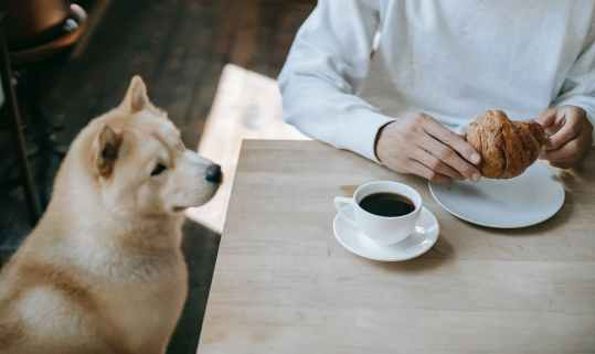 crop man having breakfast with croissant and coffee near loyal purebred dog