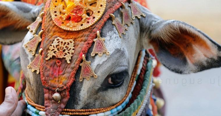 Kurban edilesi milenyum inekleri