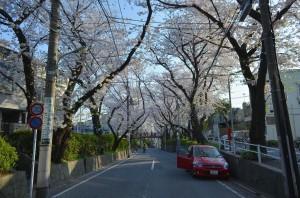 沼部駅から坂を上って ここが有名な桜坂
