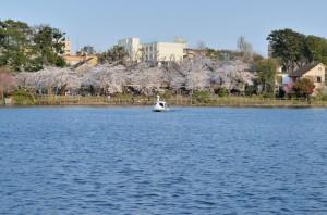 洗足池の桜並木 大田区の桜名所です