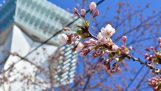 【4/16】函館・五稜郭公園で桜(ソメイヨシノ)開花
