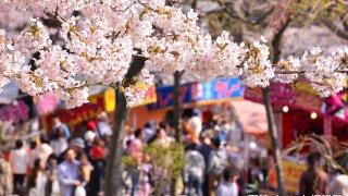 2018年、函館公園の露店と五稜郭公園の花見電飾はいつからいつまで?