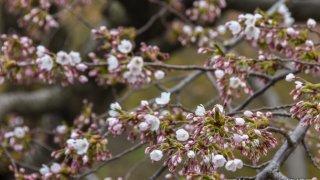 【開花目前!】五稜郭のさくら状況(4月22日撮影)