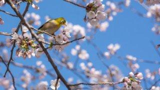 【ここから見頃】五稜郭公園・函館公園の桜状況(2019/4/28)