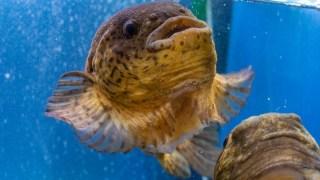 【2021/2/1~2/28】「函館朝市ミニ水族館」ゴッコなど冬の魚を展示
