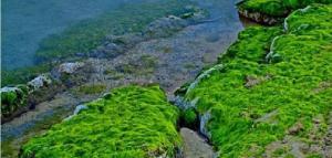 أهمية الطحالب الخضراء