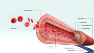 فيزيولوجية الدورة الدموية و ضغط الدم ولمحة عن الدورة الدموية في الجسم