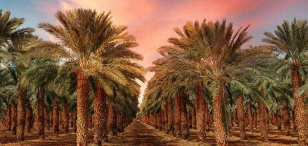طرق ري النخيل وأماكن زراعتها … ماهي فوائد النخيل وماهي فوائد التمر