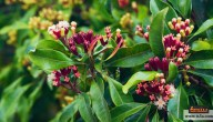 زراعة القرنفل وفوائده وماهي متطلبات زراعة نبات القرنفل وطريقة الزراعة