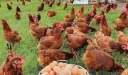 أفضل فيتامين لزيادة البيض عند الدجاج