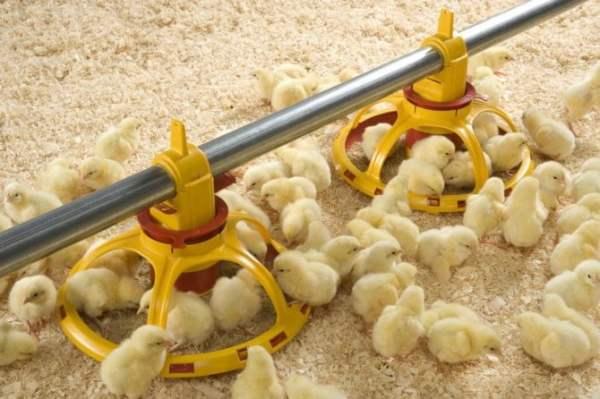 الفيتامينات الضرورية للدجاج وفوائدها