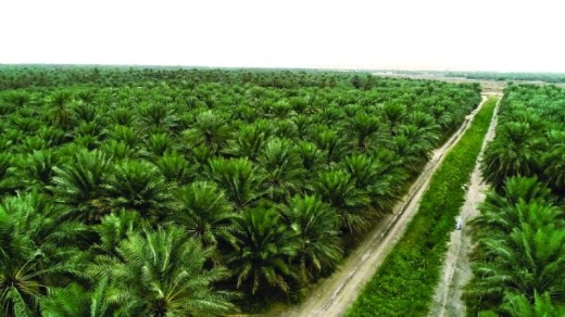 زراعة النخيل في السعوديه