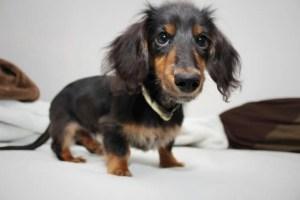 犬のチョコレート中毒について