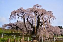 三春滝桜の開花情報やアクセス・ライトアップ情報