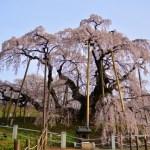 三春滝桜2016の開花予想!アクセスやライトアップ情報をチェック!