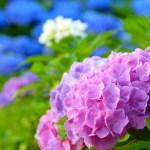 紫陽花の花言葉を色別に!いい意味も悪い意味も完全網羅!