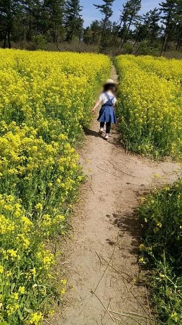 大潟村 桜と菜の花まつり ミニSL