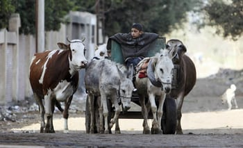 A young farmer leads his cows at al-Adwa village, the birth place of President Mursi, located in the governorate of Sharqia