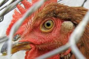 chicken-620x412
