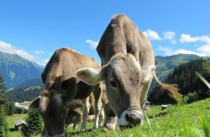 cows-pixabay-203460_1280