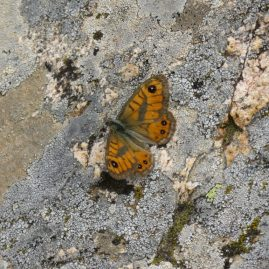butterfly-on-granite