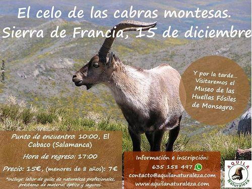 ¡Vive el celo de las cabras montesas en la Sierra de Francia!