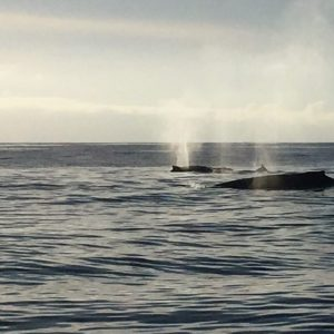 Humpbacks feeding in the strait of Juan de Fuca