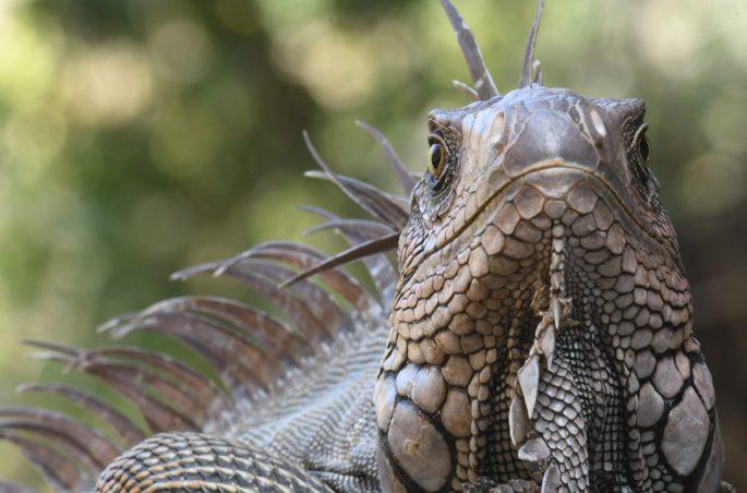 six foot iguana at waterfall costa rica