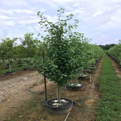 Ginkgo Archives Hale And Hines Nursery