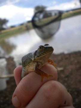 Juvenile bullfrog.