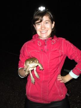 Sonoran desert toad, Bufo alvarius