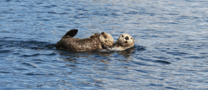 Sea otter mom and pup near Nuka Island, Alaska.