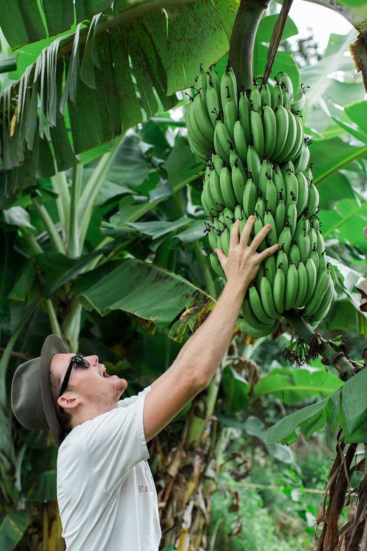 man grasping green bananas on a banana tree