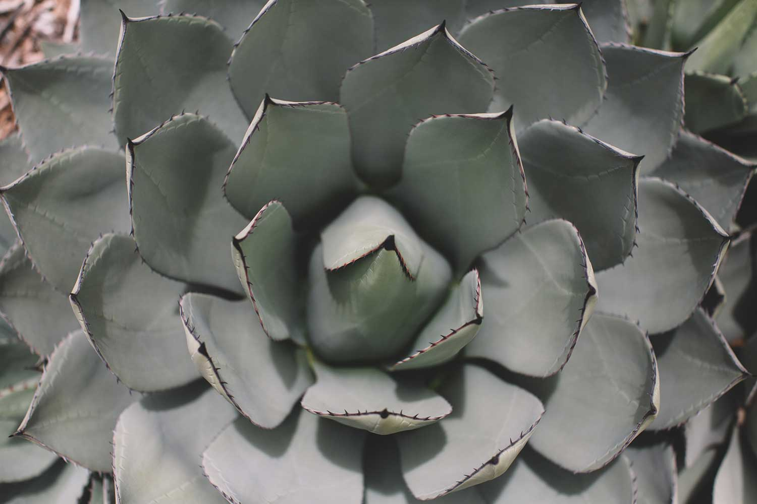 A faded green lotus succulent