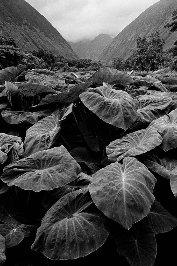 Black and white photograph of kalo leaves