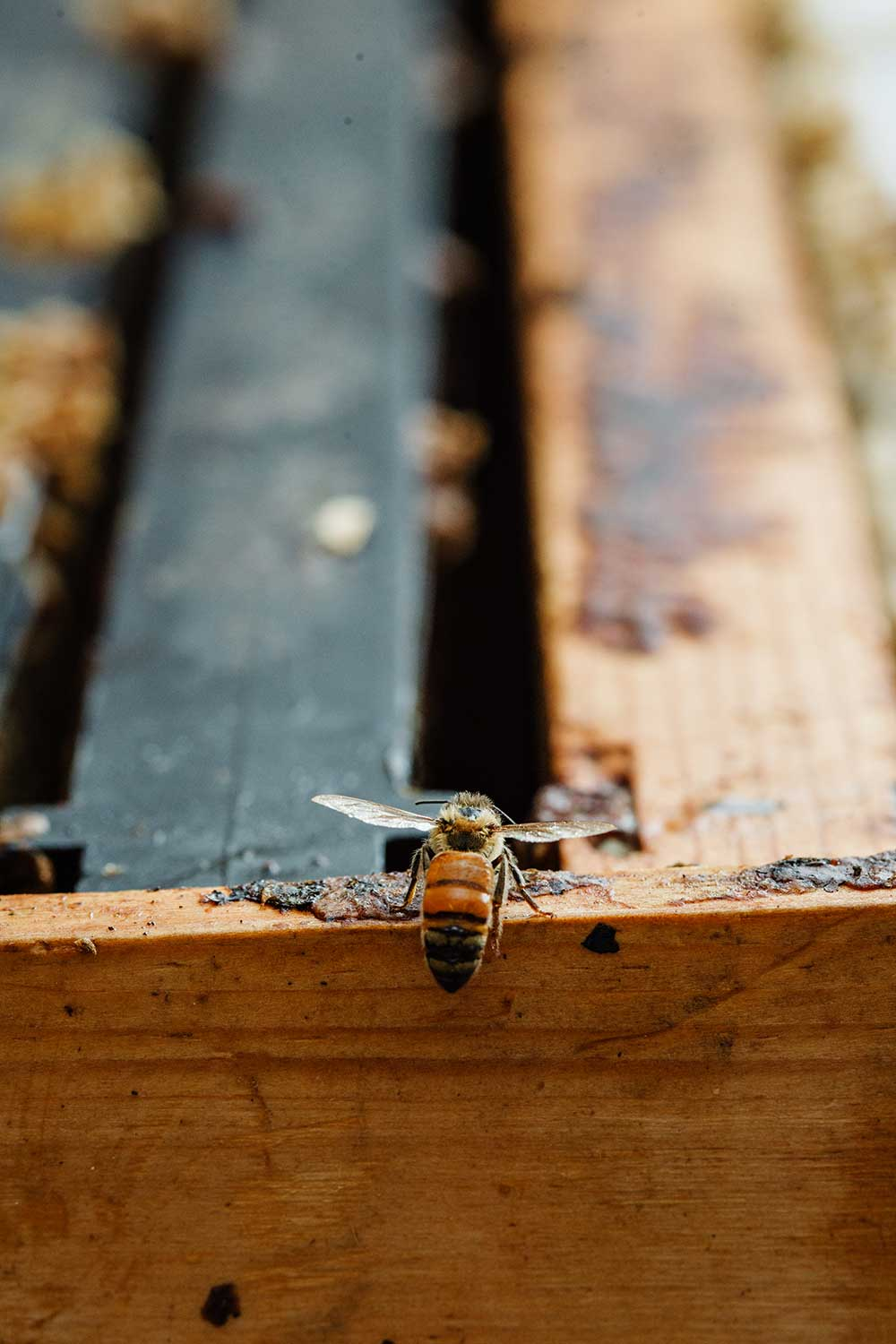 A single honeybee perched on a piece of wood