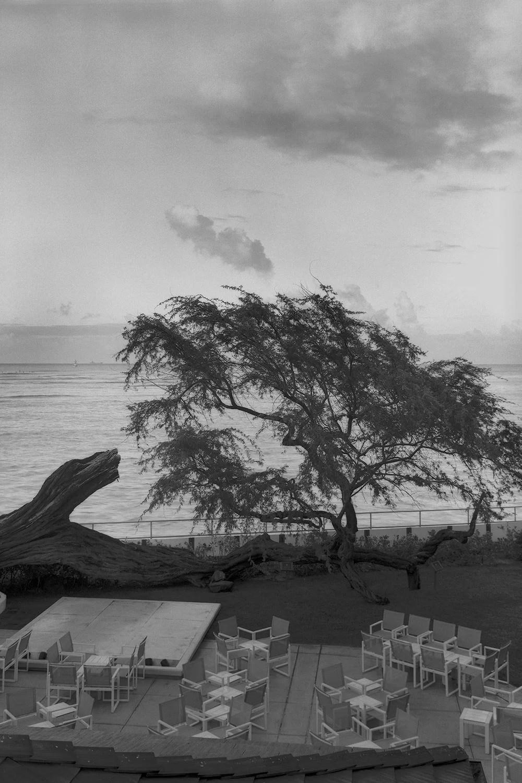 Black and white photo of kiawe tree