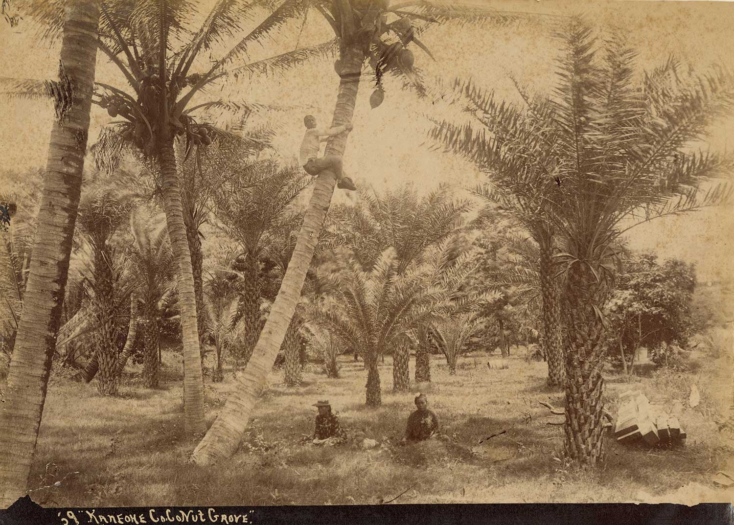 Vintage sepia tone image of coconut farmers, provided by the Hawai'i State Archives