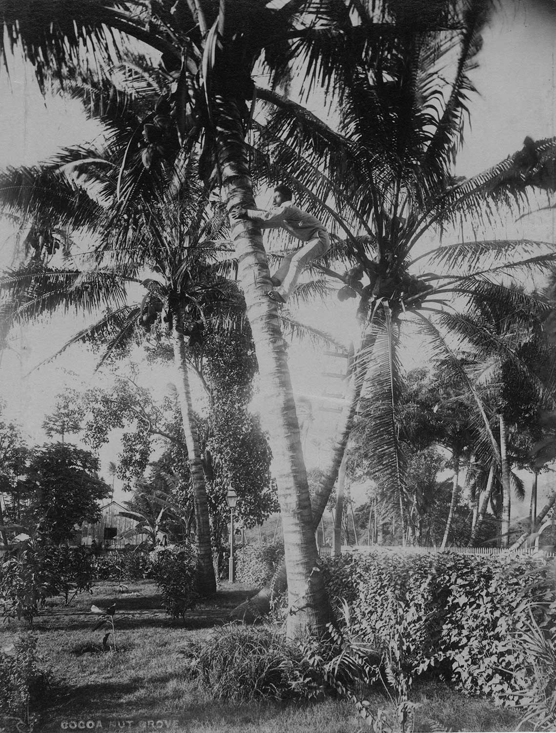 Black and white developed image of a man climbing a coconut tree.